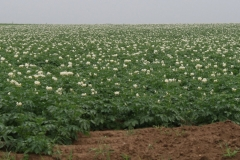 Puth-Windraak-023-Aardappelveld