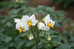 Puth-Windraak-026-Bloem-aardappelplant