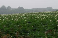 Puth-Windraak-050-Aardappelveld