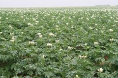 Puth-Windraak-024-Aardappelveld