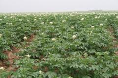 Puth-Windraak-025-Aardappelveld