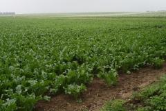 Puth-Windraak-033-Bietenveld-en-Aardappelveld