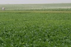 Puth-Windraak-034-Fietsers-tussen-Bietenveld-en-Aardappelveld