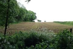 Sibbe-048-Ontkiemende-rijen-maïs
