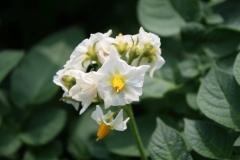 Sweijkhuizen-006-Bloem-aardappelplant