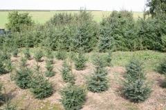 Ubachsberg-044-Kerstbomenplantage