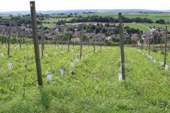 Trintelen-Eys-254-Beginnende-wijngaard