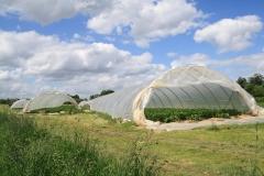 Hulsberg-0055-Plastic-tunnels-met-aardbeien-in-Aalbeek