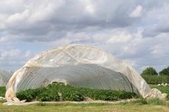 Hulsberg-0058-Plastic-tunnels-met-aardbeien-in-Aalbeek