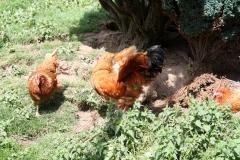 Hulsberg-0037-Haan-met-kippen-in-Aalbeek