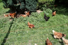 Hulsberg-0041-Haan-met-kippen-in-Aalbeek