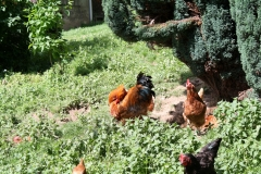 Hulsberg-0042-Haan-met-kippen-in-Aalbeek