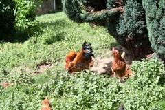 Hulsberg-0043-Haan-met-kippen-in-Aalbeek
