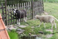 Eyserheide-Zwart-wit-en-wit-schaap