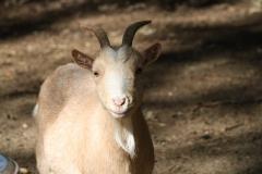 Houthem-en-omgeving-010-Bruinachtige-geit