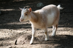 Houthem-en-omgeving-012-Bruinachtige-geit