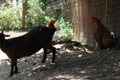 Huls-e.o.-113-Geitenbok-met-kippen