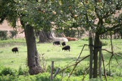 Kerkrade-020-Zwarte-schapen-en-lamas
