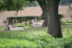 Kerkrade-027-Lamas