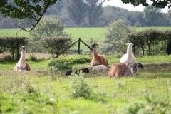 Kerkrade-031-Lamas