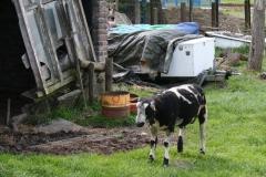 Maasband-005-Zwartbont-schaap