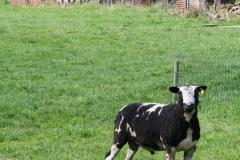 Maasband-006-Zwartbont-schaap