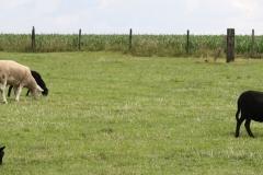 Margraten-063-Zwarte-schapen