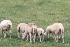 Puth-Windraak-017-Achterkant-schapen