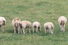 Puth-Windraak-018-Achterkant-schapen
