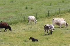 Daniken-056-Zwarte-en-witte-koeien-met-kalfjes