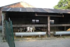 Eben-Emael-021-Dikbillen-in-koeienstal