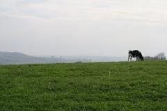 Engwegen-Keutenberg-Sousberg-036-Eenzame-koe