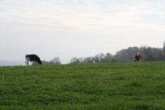 Engwegen-Keutenberg-Sousberg-037-Twee-koeien