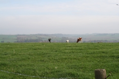 Engwegen-Keutenberg-Sousberg-039-Drie-grazende-koeien