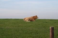 Engwegen-Keutenberg-Sousberg-040-Een-stier