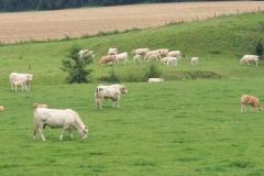 Eys-Blonde-dAcquitane-koeien-bij-de-beek-1