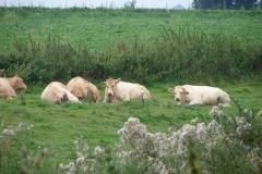 Eys-Blonde-dAcquitane-koeien