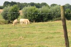 Eys-en-omgeving-122-Blonde-dAquitane-koeien