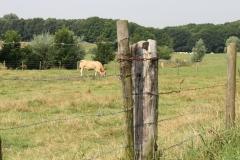 Eys-en-omgeving-125-Blonde-dAquitane-koe