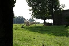 Eys-en-omgeving-148-Belgische-Witte-vleeskoeien-en-stier