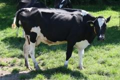 Genhout-083-Zwartbonte-koeien