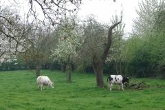 Maasband-24-Bloesem-Koeien