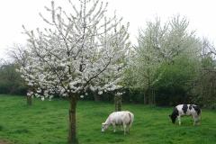 Maasband-25-Bloesem-Koeien