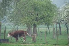 Maasband-27-Bloesem-Fleckvieh-koe