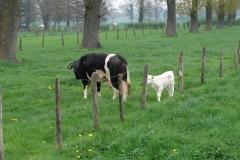 Maasband-35-Zwartbonte-koe-kalfje
