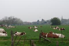 Maasband-47-Roodbonte-koeien-in-de-lente
