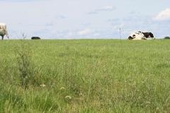 Margraten-024-Landschap-met-koeien-bij-Scheulder