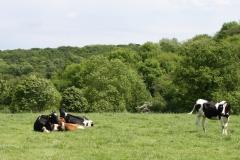 Margraten-027-Landschap-met-roodbonte-en-zwartbonte-koeien-bij-Scheulder