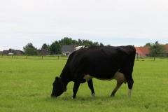 Margraten-055-Zwartbonte-koeien-bij-Scheulder