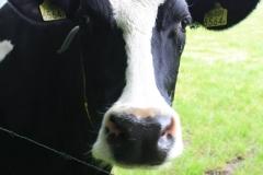 Margraten-057-Zwartbonte-koe-bij-Scheulder